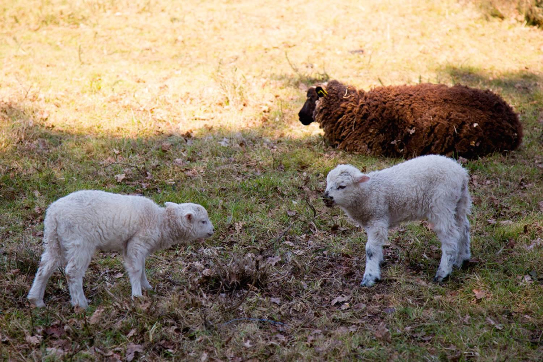Vue-moutons-Petit-train-touristique-Carnac-Morbihan-Bretagne-Sud © Le Bayon